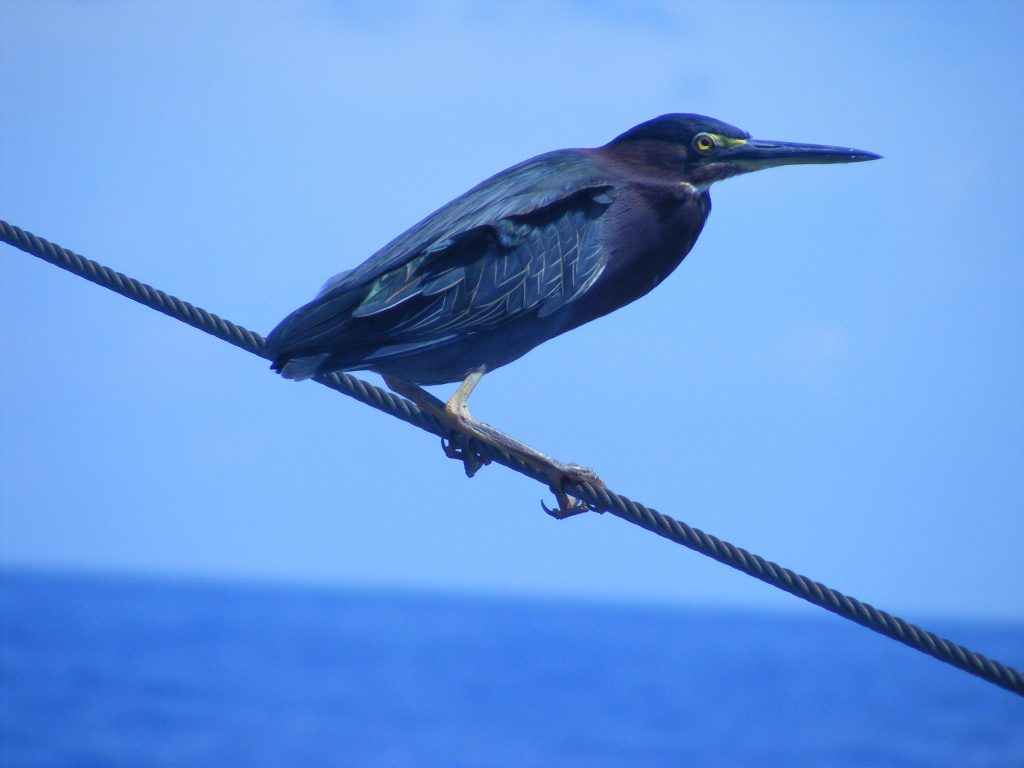 Tired heron resting in the rigging.